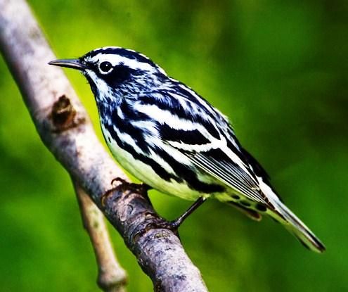warbler birds eastern states united ornithological connecticut association hand