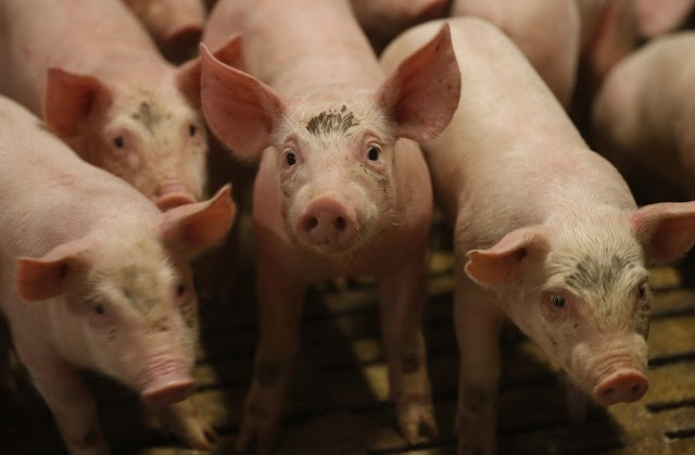 I'm on trial for giving water to thirsty pigs. If they were dogs, I would be a hero