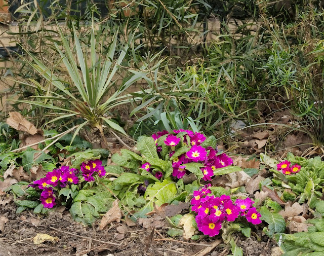 Purple polyanthus