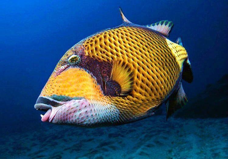 Çotira Balığı keskin, sivri dişlere sahiptir. Isırdığı zaman çok ciddi yaralar açabilir.