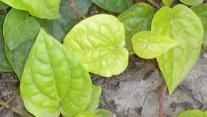 Air rebusan daun sirih dapat menghilangkan bau badan