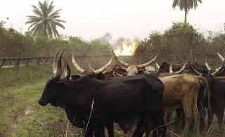 Police arrest 200 cows in Yola