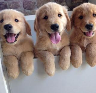3 golden retrievers, happy goldens, happy dogs, best dog breed, cutest puppies, cutest golden retrievers