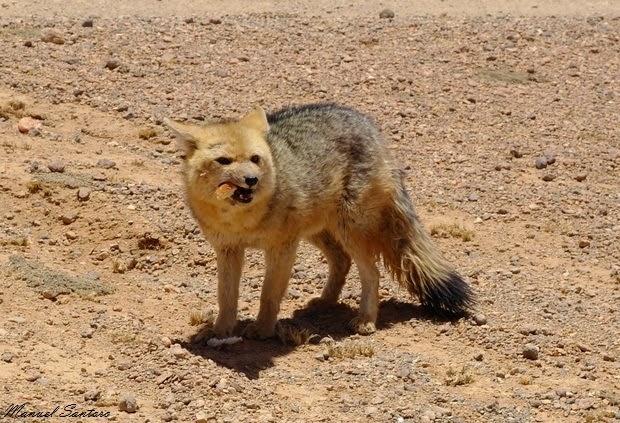 Reserva Nacional de Fauna Andina Eduardo Avaroa, volpe affamata
