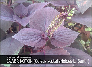 PESTISIDA NABATI dari bahan JAWER KOTOK (Coleus scutellarioides L. Benth)