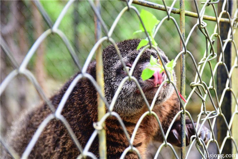 cuscus malino zoo makassar indonesia