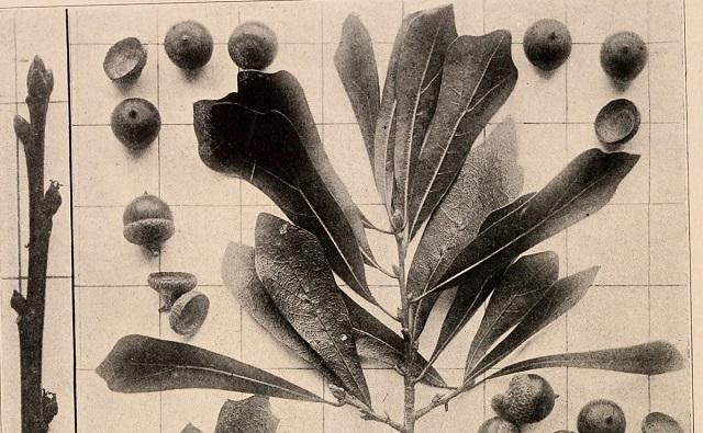 Roble negor o de agua, Quercus nigra