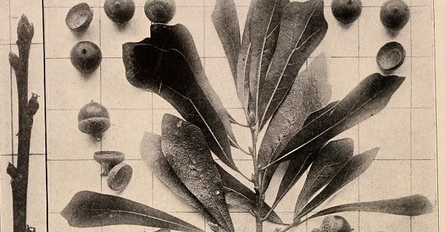 Quercus%2bnigra%2b14762017826_d7ce46e2e7_o%2b-%2bcopia%2b-%2bcopia