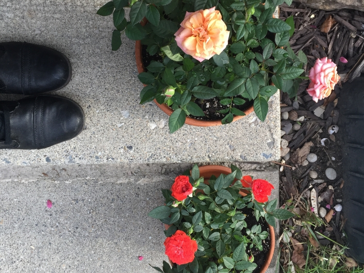 Potted mini roses in bloom // Zone 6 & 7 Garden Tasks for May // www.thejoyblog.net