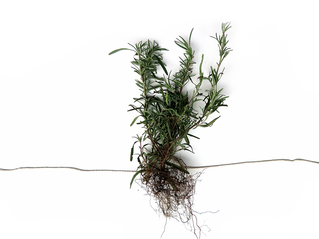 Drying herbs rosemary