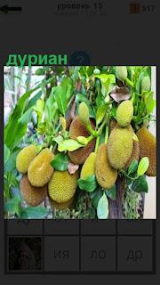 На дереве растут плоды дуриана с листьями, висят на ветках