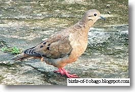 Eared Dove (Zenaida auriculata) Birds of Tobago