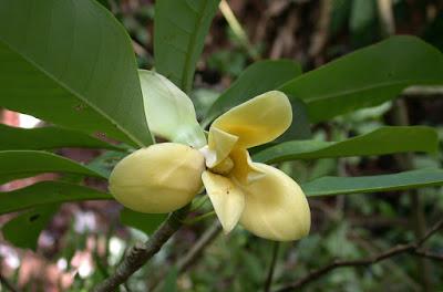 จำปาหลวง Magnolia utilis ไม้ดอกหอมพื้นเมืองของไทย