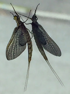 A mayfly and its reflection