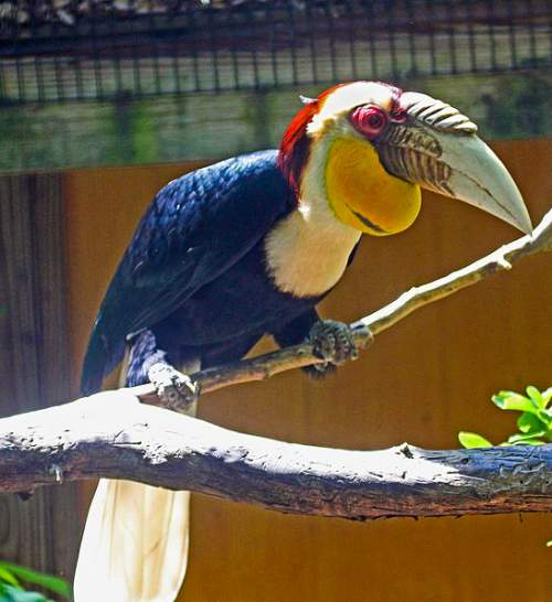 Indian birds - Image of Wreathed hornbill - Rhyticeros undulatus