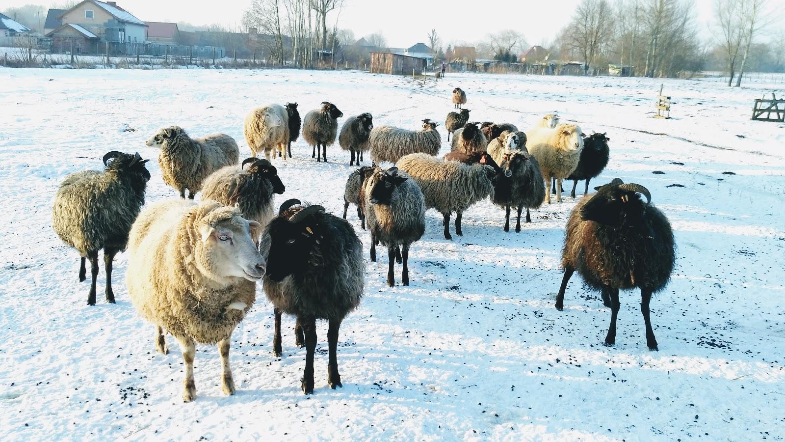 owce-w-Lubinie