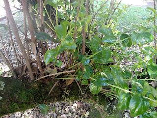 Corono – xylosma spiculifera colombia andes tree arbol leaves bark