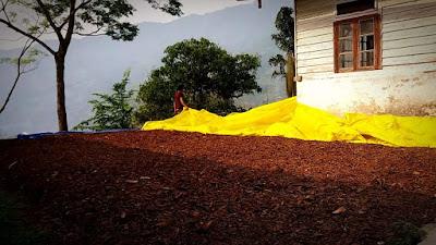 Drying of Cinchona bark in Mungpoo