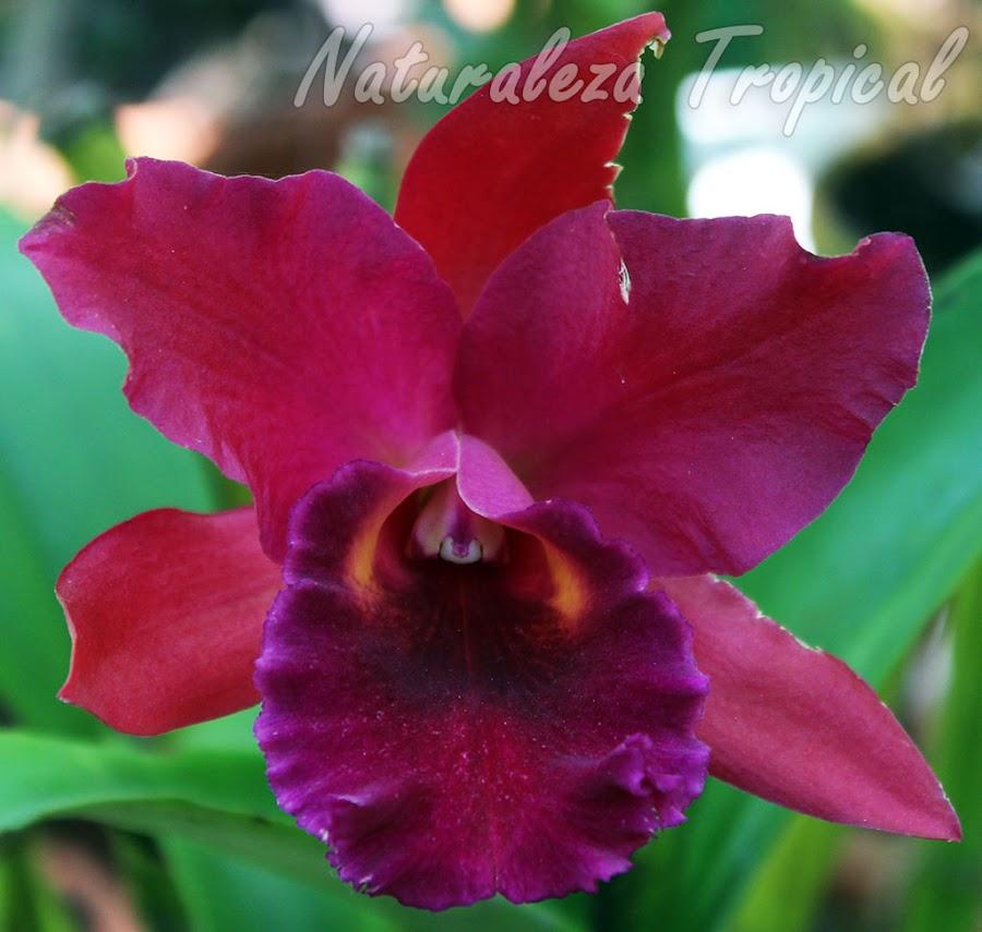 Híbrido de una orquídea del género Cattleya