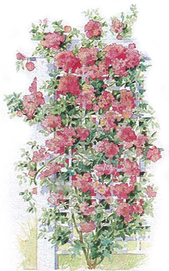 Bien choisir son rosier les diff rentes formes de rosiers les carnets de georges delbard - Support pour rosier grimpant ...
