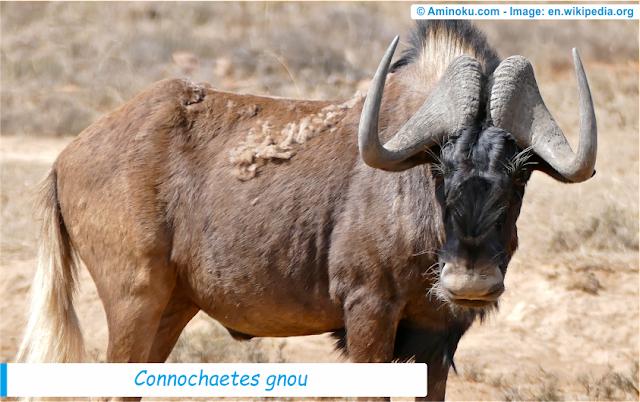 Fakta unik wildebeest hitam