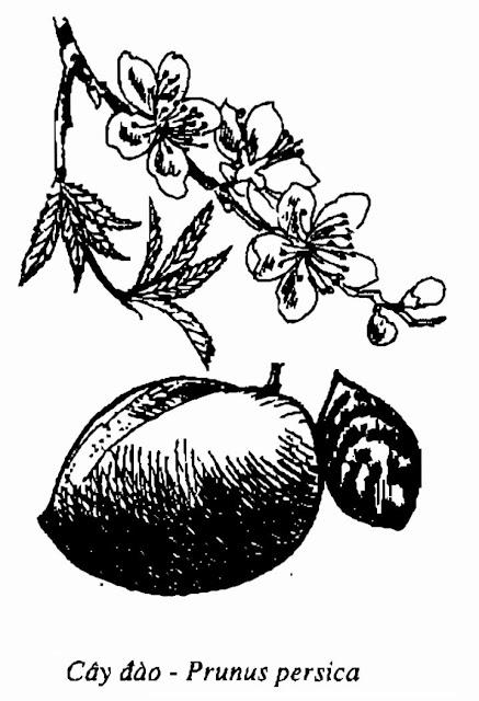 Hình vẽ cây Đào - Prunus persica Stokes - Nguyên liệu làm thuốc Chữa Ho Hen