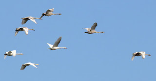 Cygnets in flight