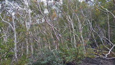 "Betula aetnensis - ""betula dell'Etna"""