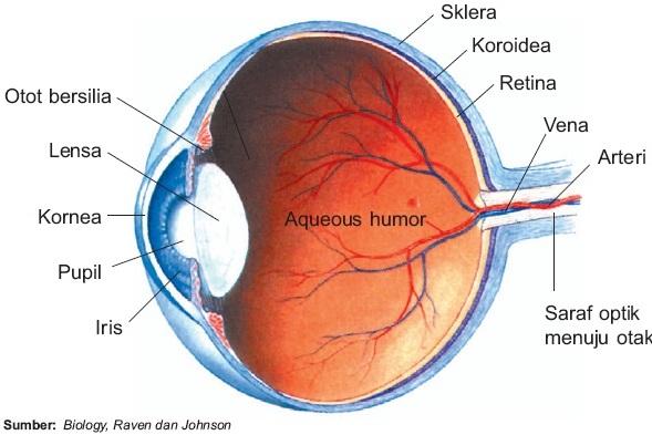 Indera Penglihatan pada Manusia (Mata) : Struktur Fungsi Bagian