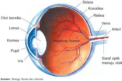 Bagian-bagian bola mata