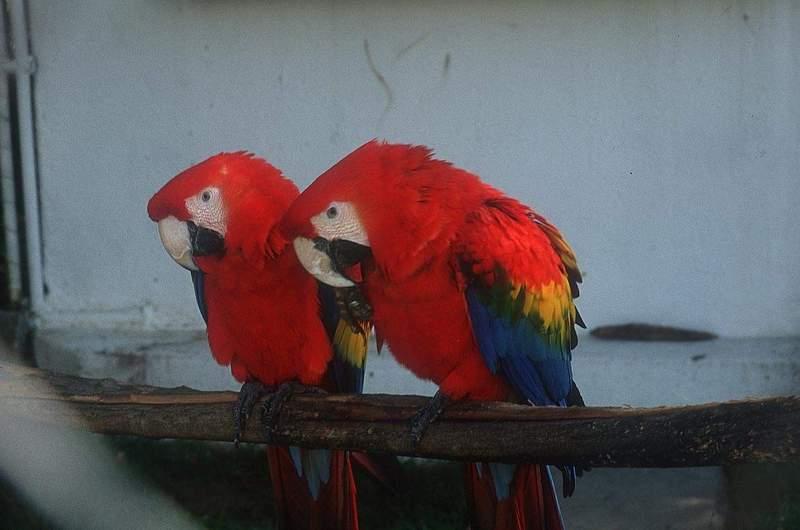 Gambar Binatang Burung Kakak Tua