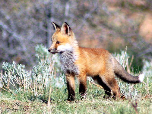 Baby Fox by StarfireRayne from flickr (CC-NC-ND)
