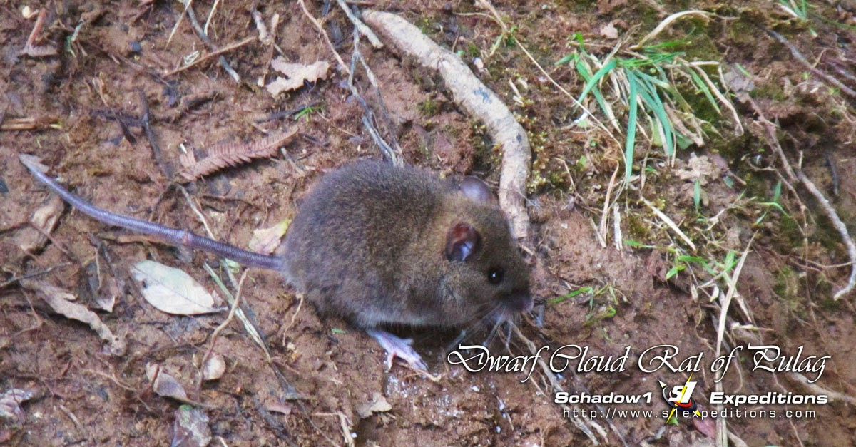 Short-footed Luzon Tree Rat - Schadow1 Expeditions
