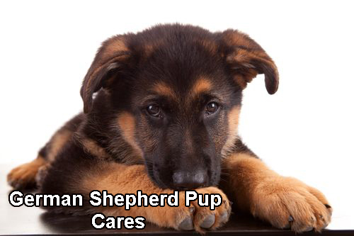 German Shepherd Pup cares