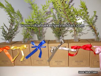 Afyon Karahisar Nikah Çamı Fidanı 6