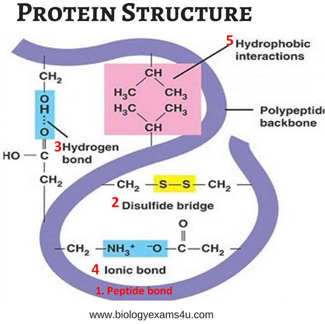 Notes on Protein Structure  Primary Secondary Tertiary and Quaternary  Biology Exams 4 U