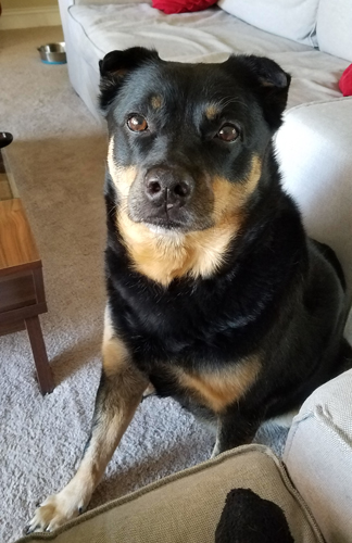image of Zelda the Black and Tan Mutt sitting on the floor looking up at me