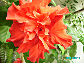 Red-layered hibiscus in June.