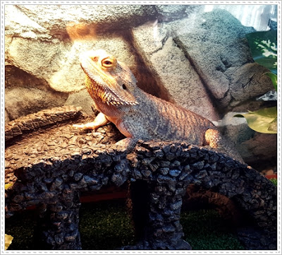 bearded dragon constipated