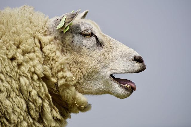 dok bude ovaca neće falit vune