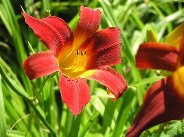 czerwony liliowiec