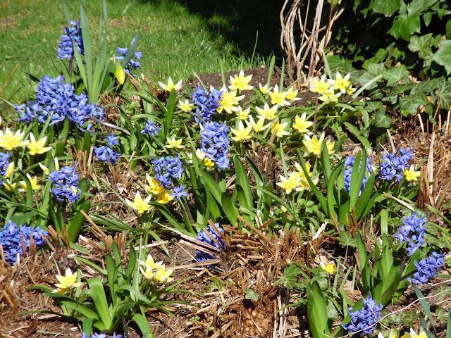 tulipany tarda i hiacynty wśród paproci