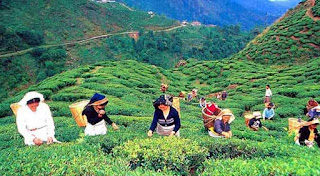 Trinamul trade union to launch tea garden survey
