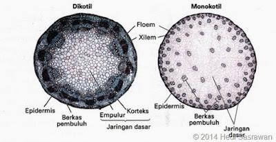 perbedaan susunan jaringan penyusun batang dikotil dan monokotil