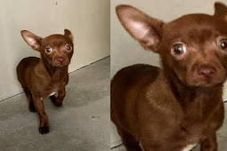 10 weeks old Chihuahua begging to be saved from deadly shelter