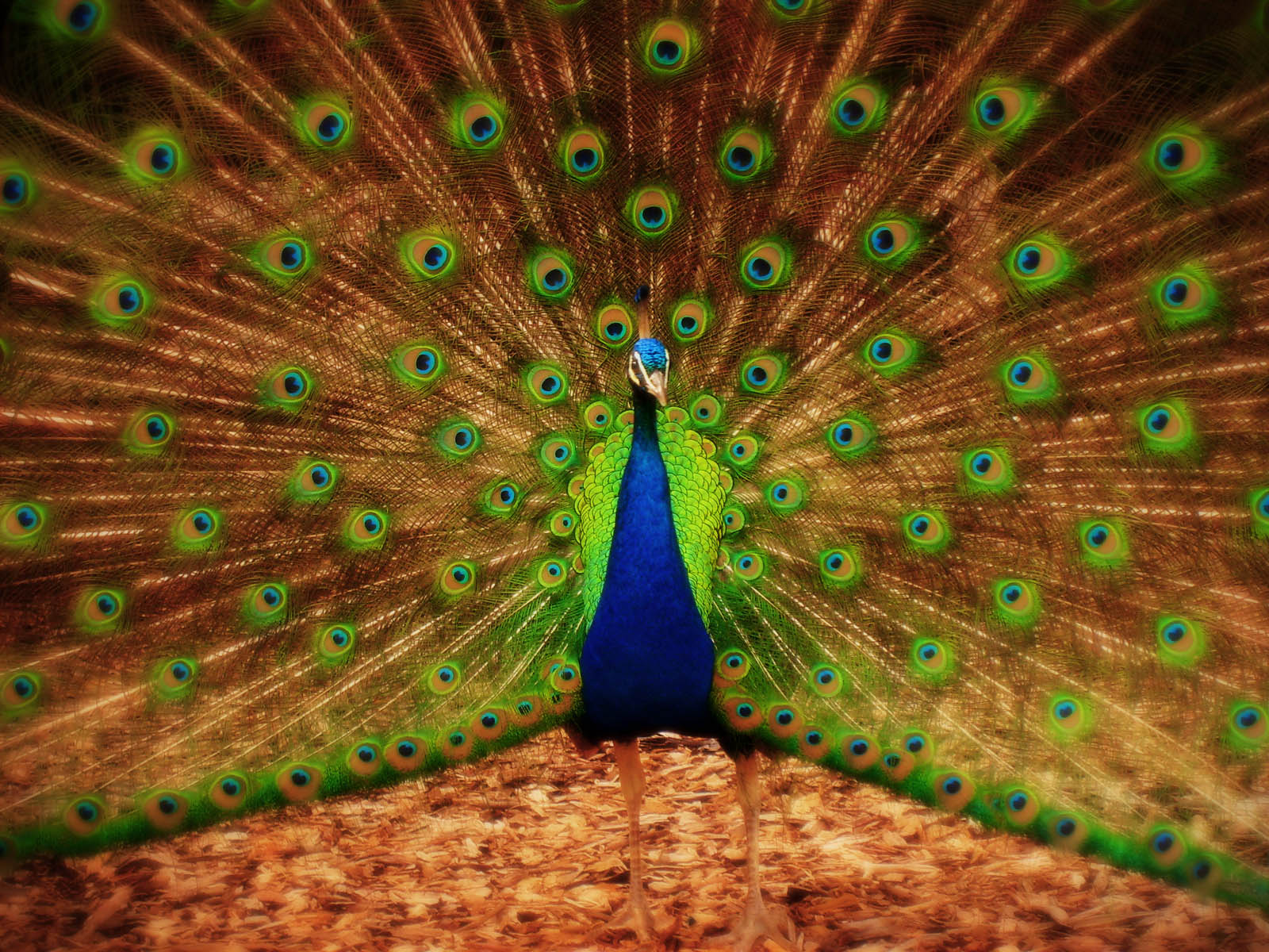 wallpapers: Peacock Wallpapers