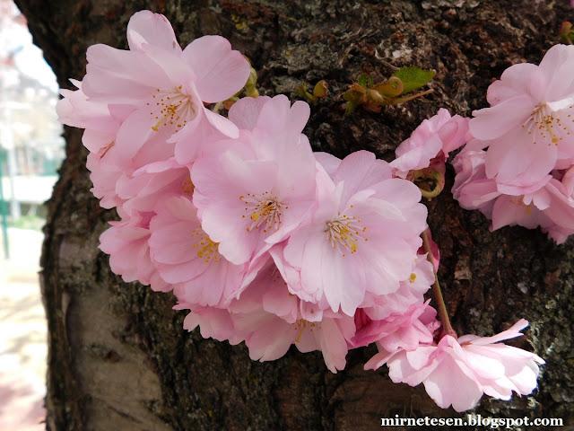 Цветение вишни в Андорре
