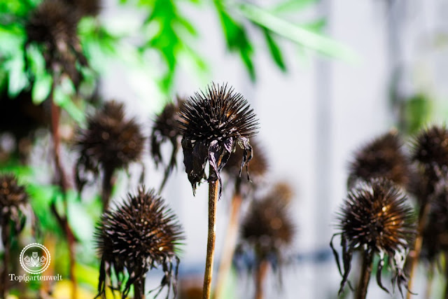 Samenstände von Sonnenhut natürlicher Herbstschmuck - Gartenblog Topfgartenwelt