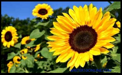 The Top 6 Benefits of Sunflower Oil