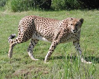 [Resim: Cheetah1.jpg]